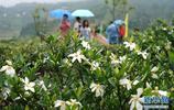 福鼎市貫嶺鎮茗洋村梔子產業基地 眾多遊客前來觀賞遊玩