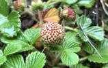 大涼山深山的野草莓-孩子們五月的天堂
