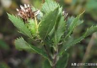 中藥材蒼朮如何栽培種植?
