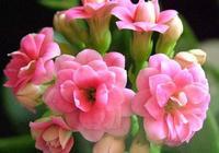"""家養長壽花,養護時掌握好這""""2點"""",枝葉繁茂,年年開花開爆盆"""
