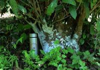 茶旅世界|北川驚現700年的灌木古茶樹