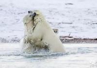 兩小北極熊血拼決鬥,母北極熊卻視而不見