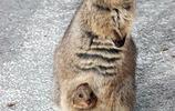 短尾矮袋鼠-世界上最快樂的動物