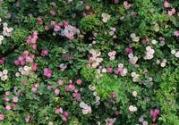 薔薇花季,分享這幾點攝影經驗,一起去拍出唯美照片吧