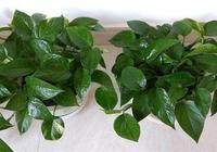 綠蘿水培還是土養?做對了,葉片油綠,長勢更旺,3個月能爬上牆
