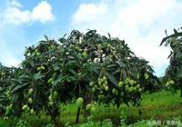 芒果樹下得諾貝爾獎的男人