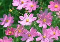 震撼 | 這9種菊花,一到夏天爆成海,越看越想養!