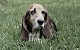巴吉度犬 這是一種相當古老的品種,由血犬是直接演化而來