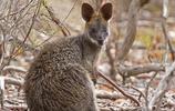 鼠:黑尾袋鼠,是袋鼠科中黑尾袋鼠屬中唯一的一個種!