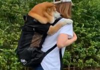 寵主揹著柴犬去散步,柴犬笑得特開心,可這並不是為了譁眾取寵