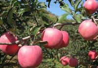 蘋果樹秋剪有三招