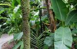能結出上千根香蕉的香蕉樹,你見過嗎?