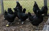 公雞中的貴族蘭博雞尼