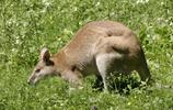 動物圖集——澳洲袋鼠