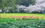 杭城櫻花季,太子灣和鬱金香同時盛開啦