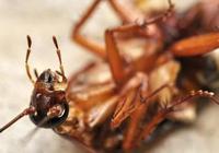 教你4步處理蟑螂!再也不怕家裡面有蟑螂了,跟蟑螂說拜拜