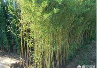 竹子根系生長過快破壞農田,如何滅掉竹子根?