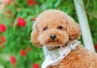 狗狗腸胃不好有什麼表現?狗狗腸胃不好怎麼調理?