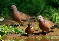 斑鳩有哪些種類?野生斑鳩禁止販賣,人工養殖的斑鳩價格貴嗎?