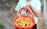 湖北宜昌:這個地方種有30畝枇杷,果成熟了不賣,只一招就消化了