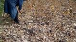 農村又到了秋收的季節,地裡的黃豆已經成熟大叔大媽又忙了起來
