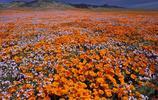 帶你觀賞不一樣的花朵,加利福尼亞州罌粟花!