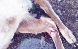 美洲獅偷襲岩羊掉下懸崖同歸於盡,一嘴羊毛莫名摔死