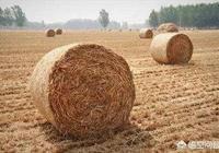 收割小麥時,總有農村老人趁機收集麥秸草,收麥秸草幹嘛?農村的麥秸草有什麼作用?