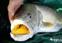 這種魚是最貴的石首魚,一條上百萬軟妹幣,真正值錢的是魚膠