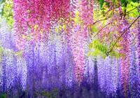 死了都要愛——紫藤花