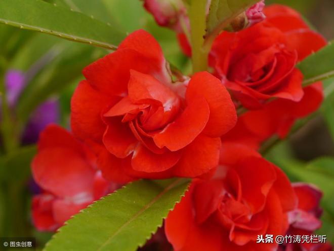 花之魅影,鳳仙花