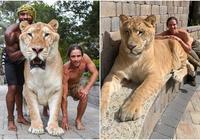 世界上最大的貓科動物——獅虎