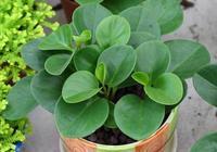 那些適合擺放在陽臺的植物——豆瓣綠