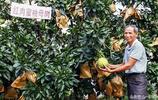 萬人瞻仰的蜜柚母樹:村民靠著它發家致富