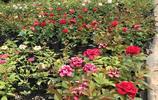 以前年年買花,家裡的空花盆越來越多,現在都被這6種月季佔滿了