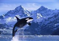 物種百科:虎鯨