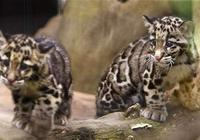 貓科動物中的佼佼者,雲豹網友:小批量的老虎!