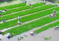 溫嶺:天氣晴好 搶種晚稻