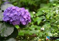 繡球花的養殖四季養護方法 繡球花怎麼繁殖的?