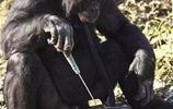 這黑猩猩會烹飪美食、演奏音樂,還掌握著3000詞彙,是世界上最聰明的黑猩猩