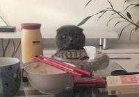 主人吃完飯正在看電視,發現藍貓的舉動,瞬間笑噴