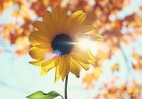 喜歡向日葵的的溫暖,活出自己的燦爛