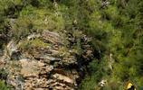 大多數人不知道的雪豹的食物岩羊到底有多萌