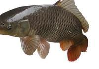 鯉魚的功效與作用 鯉魚的營養價值成分