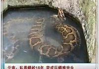 不忍蟒蛇被送餐館將其救走,一養就是十八年,如今變成巨蟒難放生