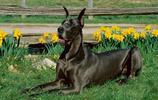動物圖集:機智靈巧的大丹犬