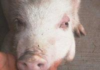 養豬常見7大細菌病之五——豬水腫病