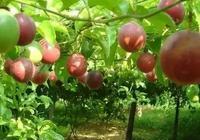 福建百香果種植業潛力巨大