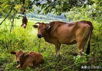 河南農村養一頭牛可以賣5萬多元,但是養殖戶不願意養也不願意賣