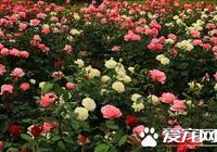 月季是玫瑰嗎 月季和玫瑰是兩種不同的花卉